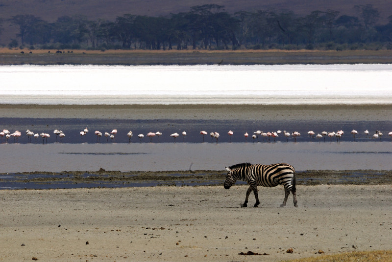 Lonely (?) zebra and flamingos in Ngorongoro