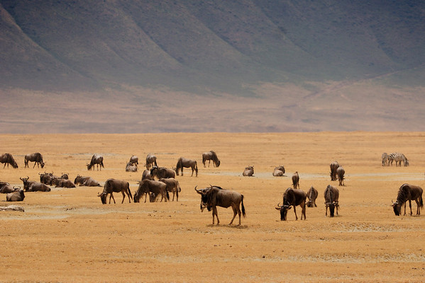 Gnoes (wildebeests), hurd in Ngorongoro