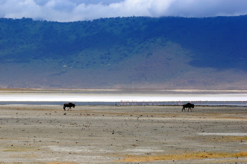 Wildebeest couple, Ngorongoro