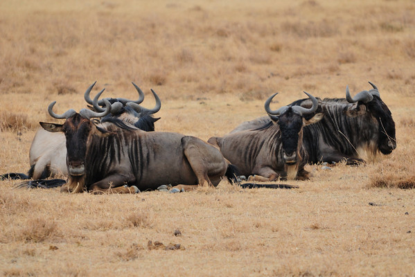 Resting gnoes (wildebeests) in Ngorongoro