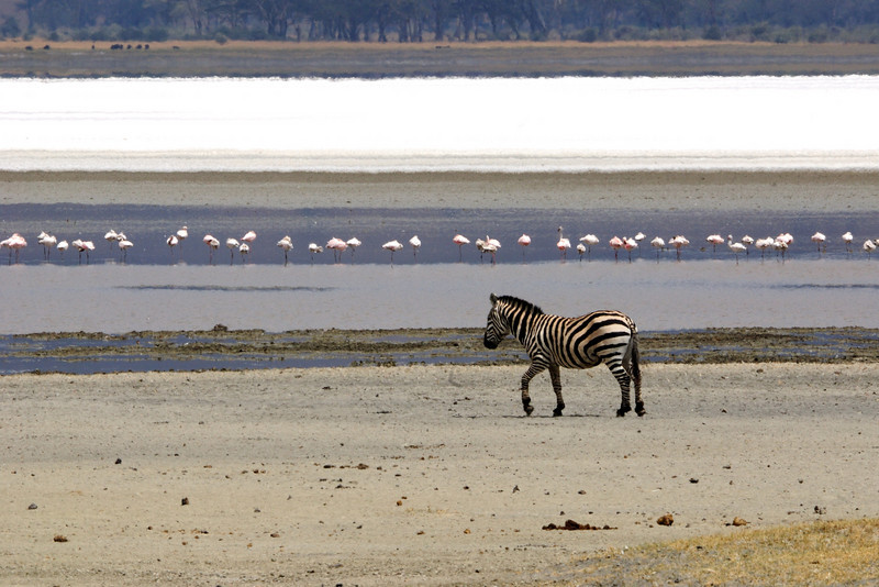 Zebra and flamingos, Ngorongoro