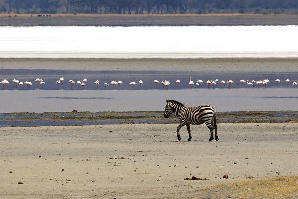 Zebra and flamingos, Ngorongoro