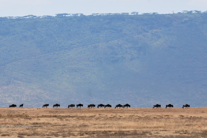 Wildebeests on the ridge, Ngorongoro