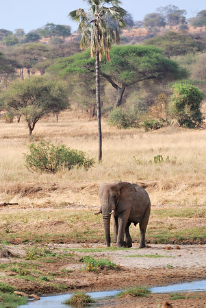 lonesome elephant bull in tarangire national park