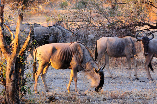 wildebeests in the sunset in Tarangire National Park