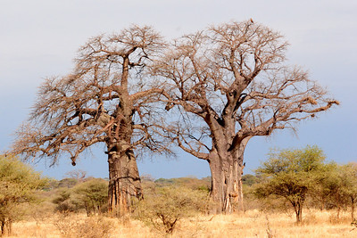 baoboab twin in tarangire national park