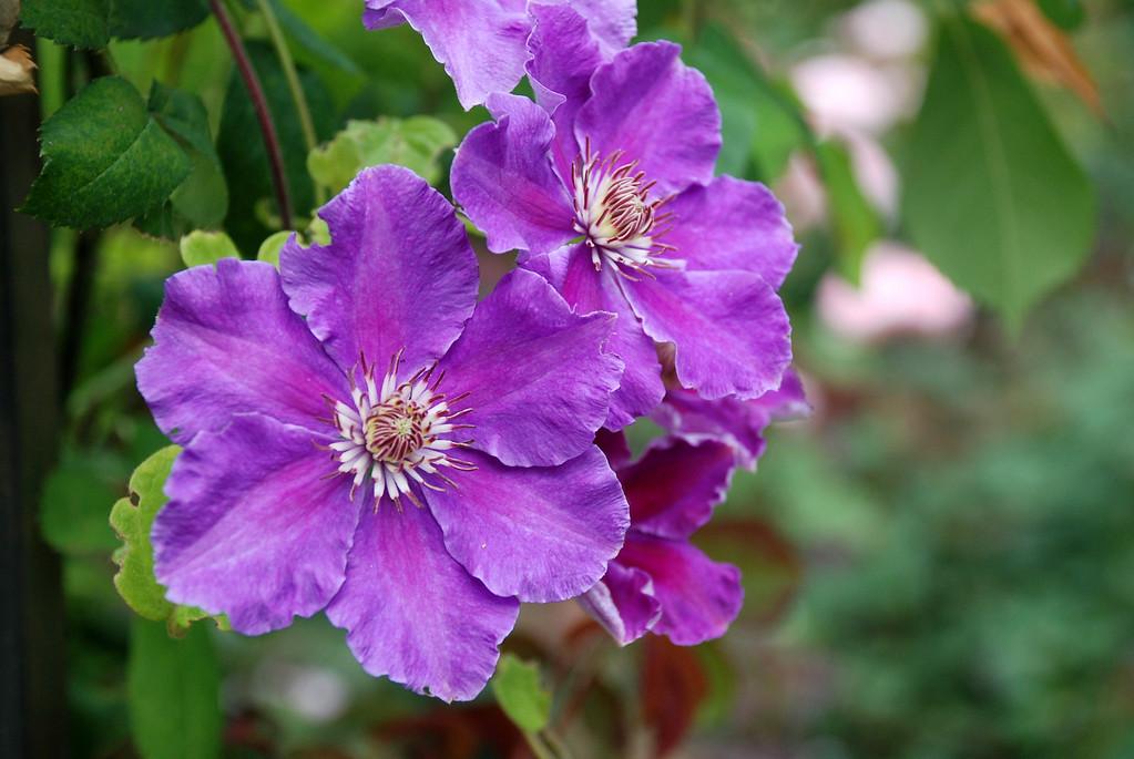 purple flowers (Clematis)