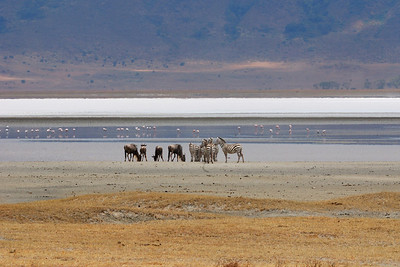 Small wildebeest and zebra get together at the lake in Ngorongoro